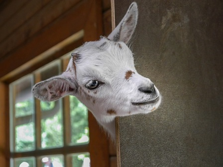 goat-2153622_640 - Copy