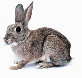 rabbit-740621_640 - Copy
